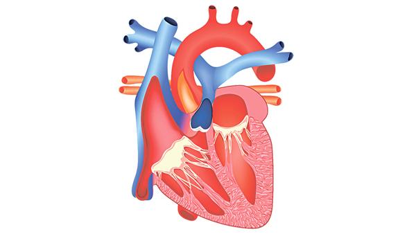 我們的心臟分為左右心房和左右心室,合共4個「房間」。(網上圖片)